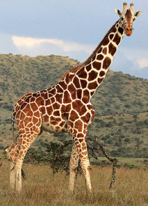 http-::img.thesun.co.uk:aidemitlum:archive:01161:giraffe-main_1161152a